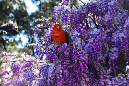 A male King Parrot sitting in a wisteria tree