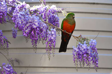A female King Parrot sitting on a wisteria tree