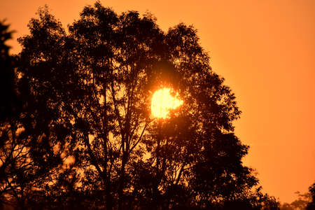 The sun shining through a Eucalyptus tree at dusk