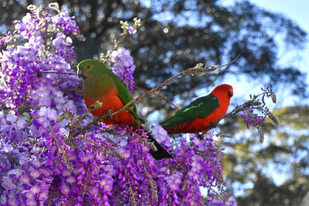 A male and female King Parrot sitting in a wisteria bush
