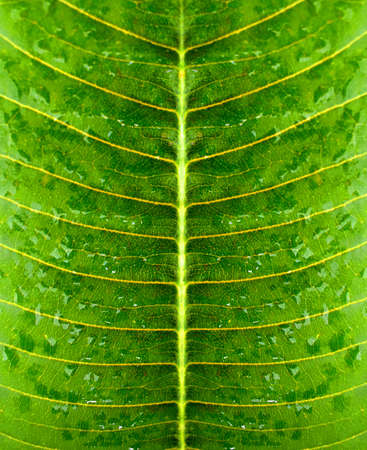Water droplets on a ripe green leaf Stock Photo