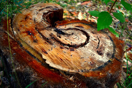A tree stump in a curled pattern Stock Photo