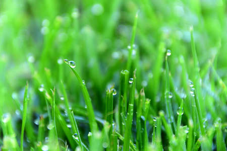 Water droplets on blades of grass in the early morning. Stock Photo