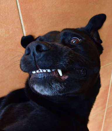 A black Labrador smiling while getting a well-deserved belly rub.