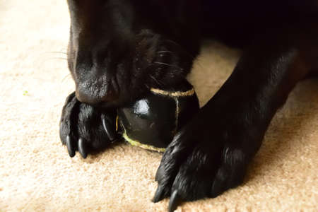 A black Labrador holding an old tennis ball while chewing it. Stock Photo