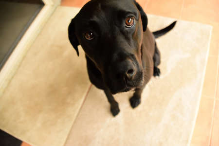 A black Labrador being a good boy, sitting on his mat and showing his puppy dog eyes.