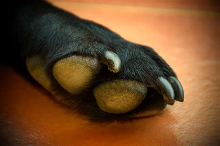 The paw of a black Labrador on tiles Stock Photo