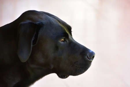 Black Labrador Portrait