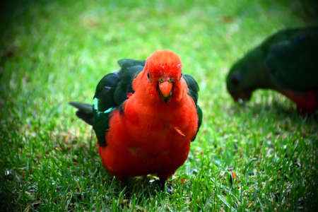 Male King Parrot Stock Photo