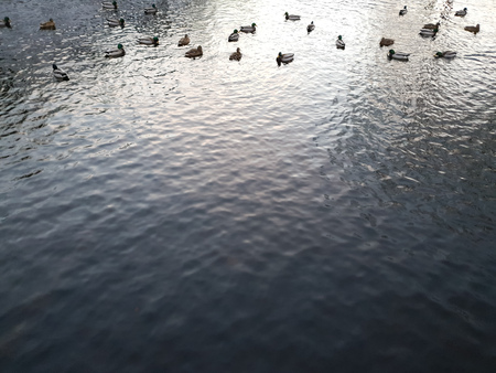 The Ducks closeup on the water in winter. Duck birds on the water in winter. Stock Photo