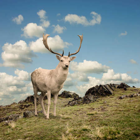 stag: Male Stag Deer on a Mountain