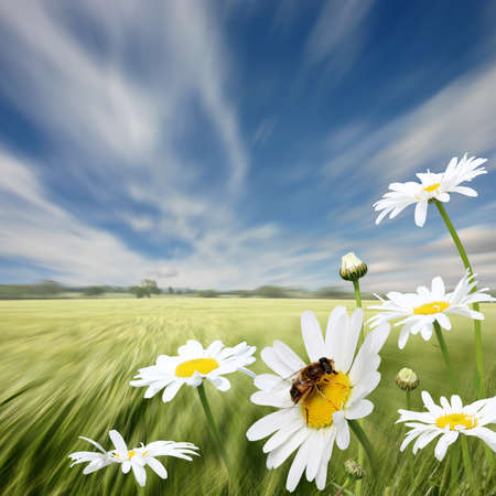 oxeye: A Summer Landscape with Oxeye Daisies and Honey Bee Stock Photo
