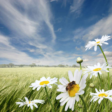 bee on flower: A Summer Landscape with Oxeye Daisies and Honey Bee Stock Photo