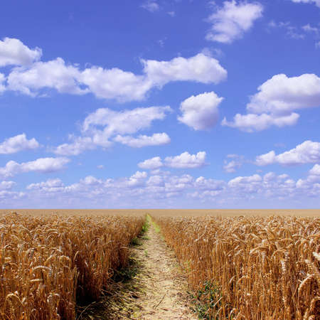 foot path: A Wheat Field with Foot Path and Blue Sky