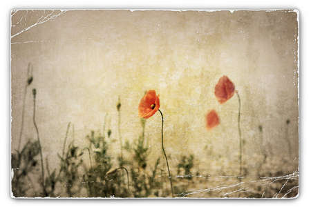 An Old Vintage Photograph of Wild Red Poppies in Field photo