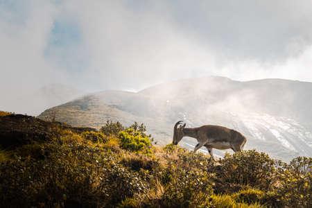 Montaña Nilgiri Ibex en la ladera de una colina