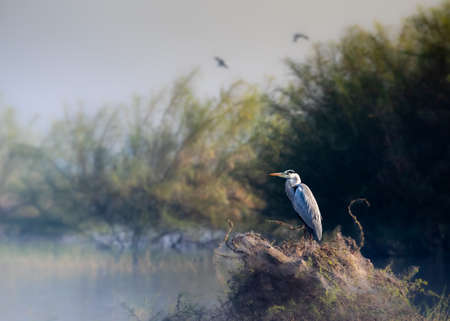 Great Heron sitting on the banks of a river