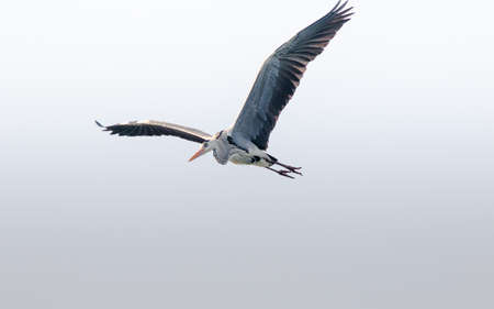 Great Heron in flight with wings in full view