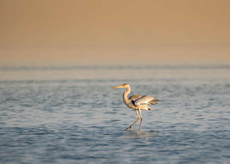 Isolated Great Heron in the middle of a Lake