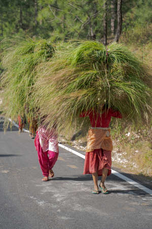Shot of Tribal village ladies carrying hay for fodder fro cattle on Indian road