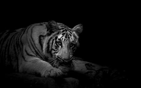 Foto de un tigre joven mirando a la cámara en blanco y negro Foto de archivo