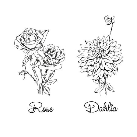 Sketch of rose and dahlia