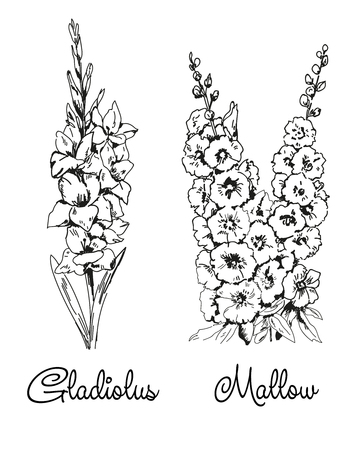 Gladiolus and mallow by line on white background