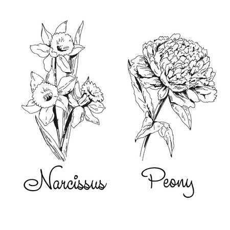 Narcissus and peony by black ink, sketch