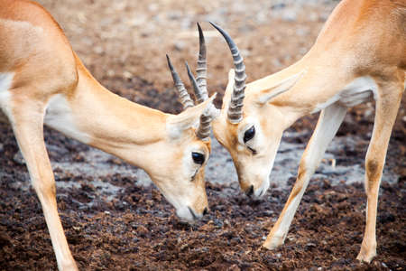 Antelope face to face in trickily fighting photo