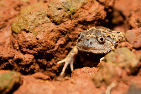 burrowing: Strieped burrowing frog with hibernate