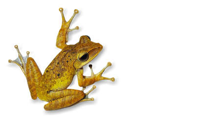 Tree frog (Polypedates leucomystax), brown tone was in the position of jumping on white background. Tree frog isolate.