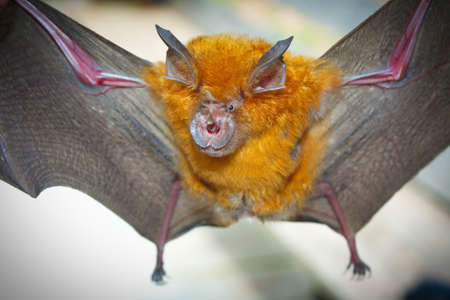 Intermediate Horseshoe Bat (Rhinolophus affinis),that live in caves Is a nocturnal animal Foul and dirty These bats are a collection of many diseases.