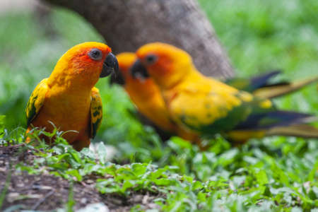 Sun conure parakeet (Aratinga solstitialis), colorful parrots raised in floating baskets for display at the zoo. And allow people to watch closely. Stock Photo