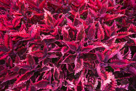 Painted nettle,Flame nettle (Coleus atropurpurrus), has dark purple leaves. Suitable for planting gardens. Planted as ground cover plants Add moisture to the soil and make the flower garden beautiful.