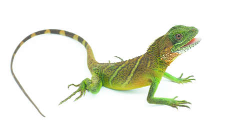 water dragon (Physignathus cocincinus) on a white background, isolate add  . It is a large lizard. Fresh green body scales It is often found living near streams in Asian forests.