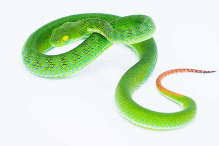 Large -eyed Green Pit Viper (trimeresurus macrops), fresh green body Curling his body to wait to catch prey On a white background. isolate Image.