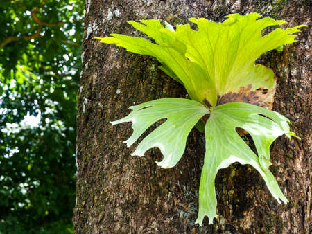Platycerium (Platycerium wallichii ) is a fresh green tree that grows on large trees. Plants that rely on food from other plants to grow. Popular to grow as an ornamental tree.