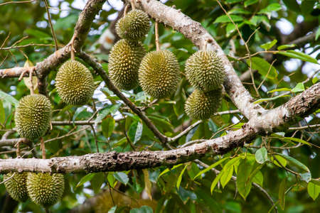 Durians on the durian tree Which is hidden in the bushes in the shady gardens.