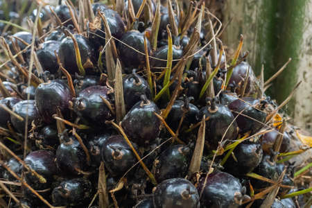 Ripe black palm oil on its tree waits for farmers to harvest. Alternative energy. Renewable energy bio oil. Save energy.