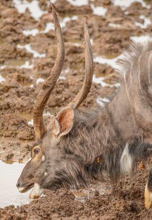 pozo de agua: Nyala potable toro en ojo de agua