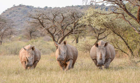 northern cape: Three White Rhinos standing in savannah in the Northern Cape, South Africa