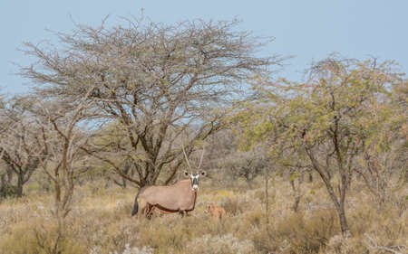 northern cape: A Gemsbok mother and her calf standing in the bush in the Northern Cape, South Africa