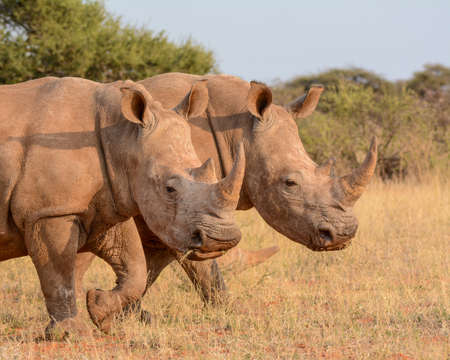 northern cape: Double trouble with a pair of White Rhinos walking through the grass in the Northern Cape, South Africa Stock Photo