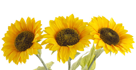 Beautiful sunflowers on a white background, isolated photo