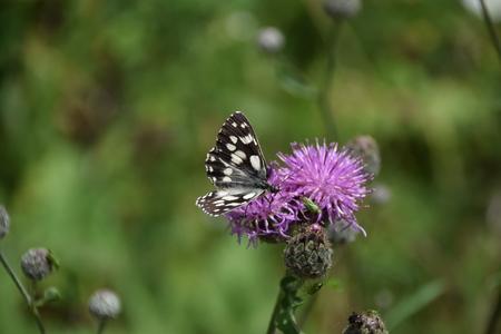 Een zwart-witte vlinder bezoekt een distel Stockfoto