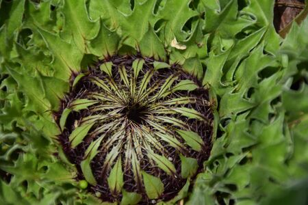 A prickly thistle