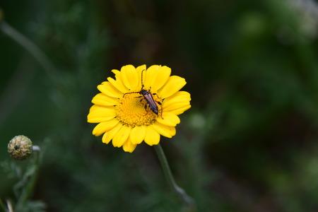 Longhornkever bij bloem