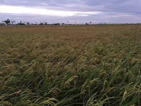 Rijst veld in de schemering
