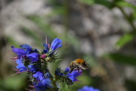 Bij bezoekt een blauwe bloem