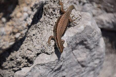 Hagedis op een stenen muur